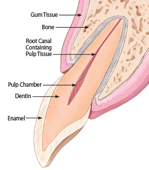 Apicoectomy - Healthy Tooth Anatomy.