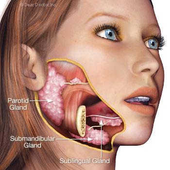 Salivary glands.