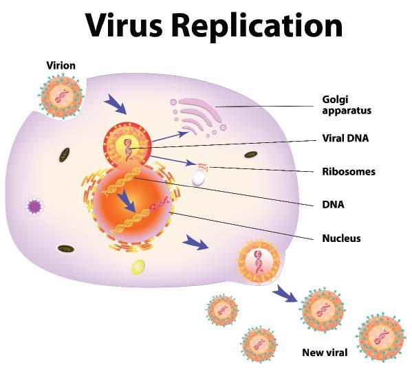 Virus replication.