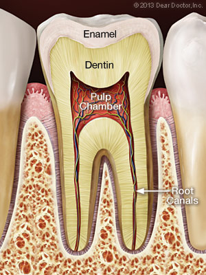 Normal pulp and root canals.