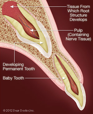 Permanant Tooth Developes.