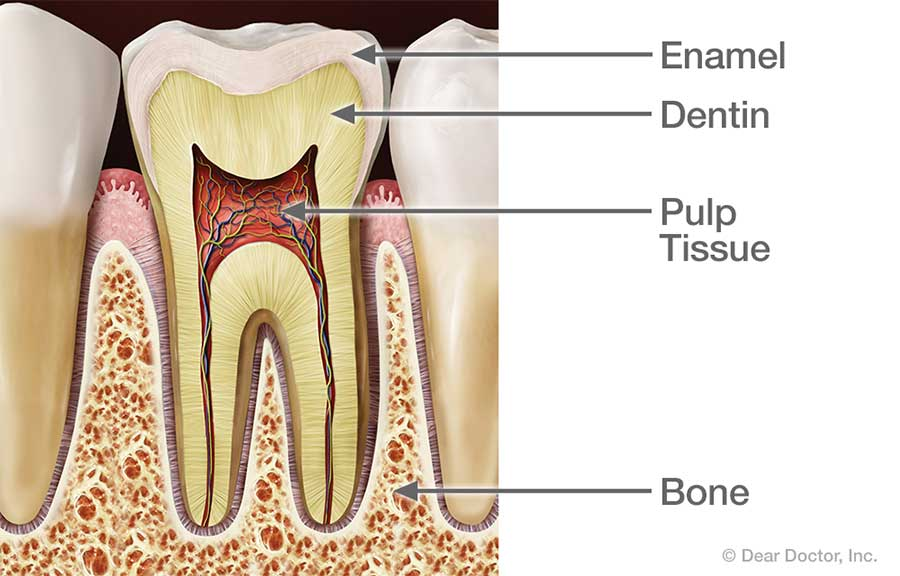 Healthy tooth anatomy.