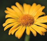 Does Arnica Really Help Healing after Oral Surgery?