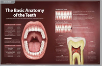 Anotomy of Teeth – Dear Doctor Magazine